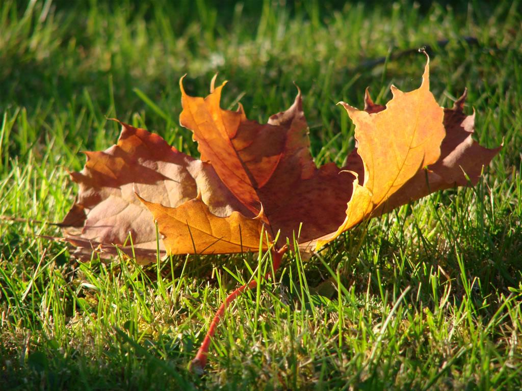 autumn-maple-leaf-on-grass